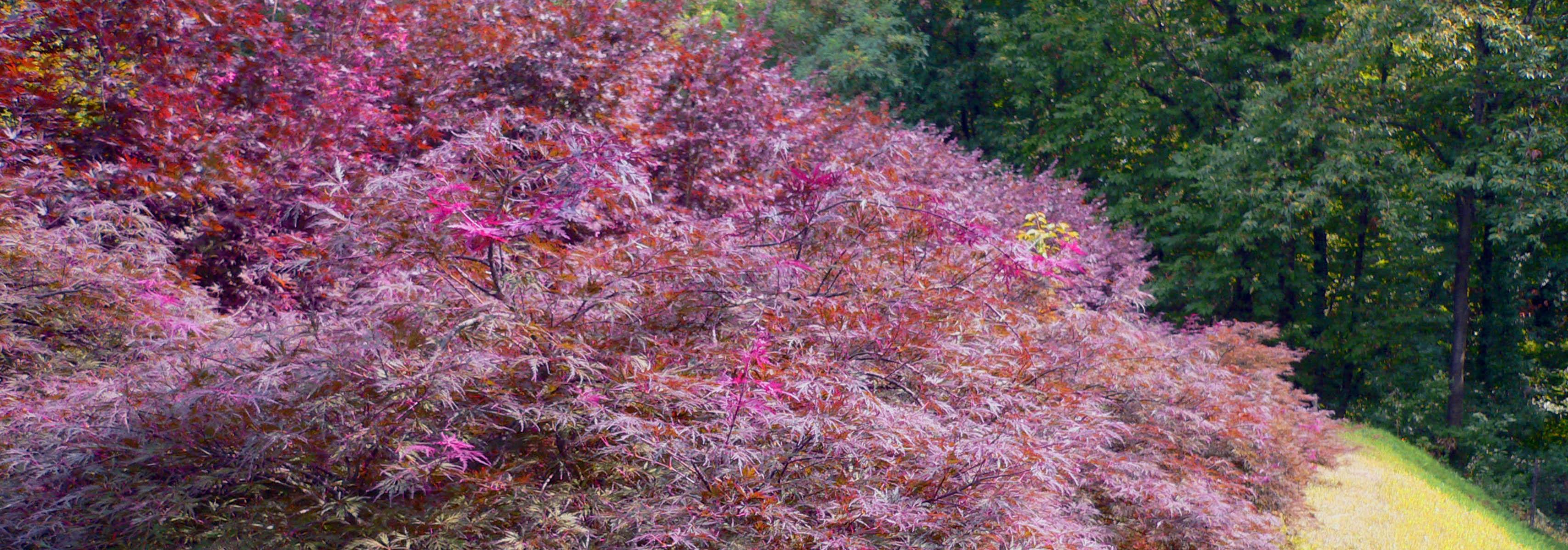 Acero Giapponese Verde aceri giapponesi vivaio bergamo - vivai rizzi bergamo