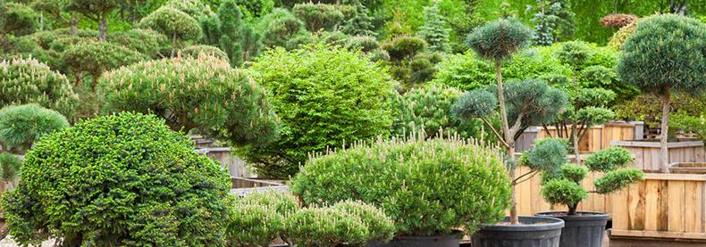 Vivaio coltivazione e vendita piante ornamentali bergamo for Vendita piante ornamentali